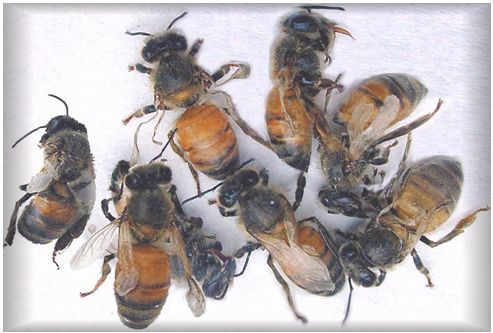 Honey bees with deformed wings caused by varroa
