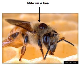 Varroa mite on a bee