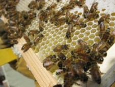 Healthy worker bees - after CCD strikes, few or no worker bees remain