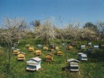 Beehives in a garden